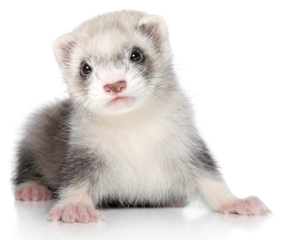 Pet ferret sitting