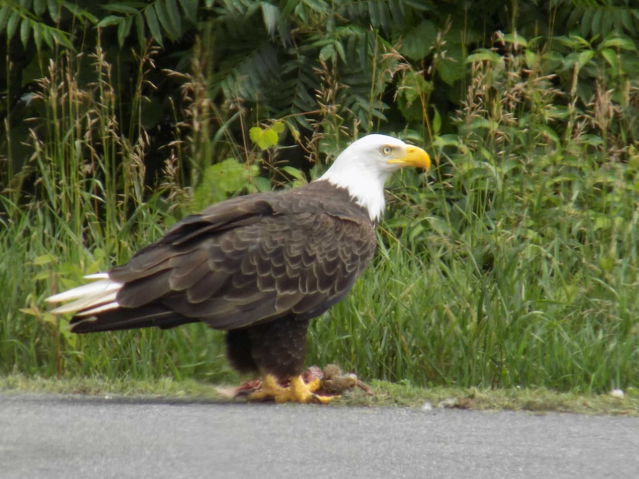 Bald Eagle Indian Opening Rd by Jaqueline Johnson